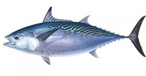 Kawakawa tuna - Photo: Tridge
