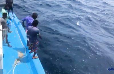 Yellowfin tuna Video