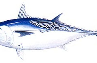 Kawakawa tuna - Photo:  fishing-khaolak