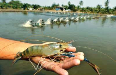 shrimp-farming-thailand